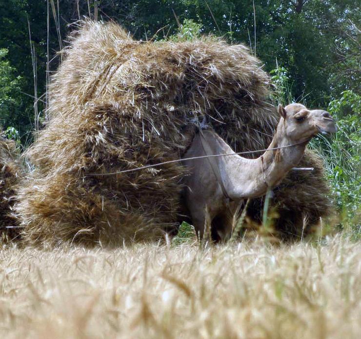 maxed camel